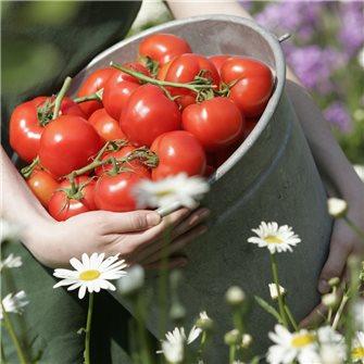 Il pomodoro: una star facile da conservare
